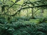 John Eastcott & Yva Momatiuk - Vegetation and Tree Limbs Grow Wildly in an Old Growth Forest - Fotografik Baskı