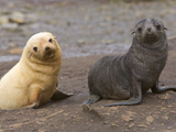 Two Southern Fur Seal Pups, One Blond, the Other with Ordinary Coat Photographic Print by John Eastcott & Yva Momatiuk