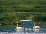 A Pair of Trumpeter Swans Swim with their Cygnets Photographic Print by John Eastcott & Yva Momatiuk