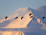 Migrating Sandlhill Cranes Flying Past Snowy Mt.Mckinley at Sunrise. Photographic Print by John Eastcott & Yva Momatiuk