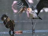 A Marabou Stork Tries to Steal a Flamingo Carcass from a Steppe Eagle Photographic Print by John Eastcott & Yva Momatiuk