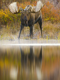 Moose Bull at Edge of Glacial Kettle Pond Looking for Females. Photographic Print by John Eastcott & Yva Momatiuk