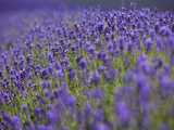 England, Kent, Shoreham, Lavender Fields at Shoreham, in North Kent Photographic Print by Katie Garrod