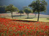 Italy, Umbria, Norcia, Walnut Trees in Fields of Poppies Near Norcia, Bathed in Evening Light Photographic Print by Katie Garrod