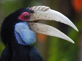 Bali, Ubud, a Wreathed Hornbill in Bali Bird Park Reproduction photographique par Niels Van Gijn