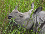Great Indian One-Horned Rhino Feeds on Swamp Grass in Kaziranga National Park, World Heritage Site Photographic Print by Nigel Pavitt
