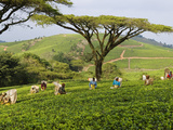 Malawi, Thyolo, Satemwa Tea Estate, Workers Plucking Tea Fotodruck von John Warburton-lee