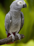 Bali, Ubud, an African Grey Parrot at Bali Bird Park Fotografie-Druck von Niels Van Gijn