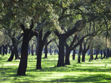 Cork Trees in Alentejo. Portugal Photographic Print by Mauricio Abreu