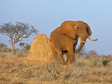 A Fine African Bull Elephant Rubs Itself on a Termite Mound in Tsavo East National Park Photographic Print by Nigel Pavitt
