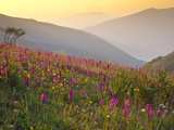 Italy, Umbria, Forca Canapine, Pink Orchids Growing at the Forca Canapine, Monti Sibillini National Photographic Print by Katie Garrod