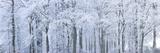 Peter Adams - Trees with Snow and Frost, Nr Wotton, Glos, Uk - Fotografik Baskı