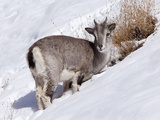 India, Ladakh, Rumbak, Himalayan Blue Sheep, or Bharal, Foraging for Food on a Snowy Slope in the R Photographic Print by Katie Garrod