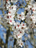 Almond Trees Blooming with Flowers. Loule, Algarve, Portugal Photographic Print by Mauricio Abreu