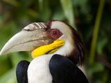 Bali, Ubud, a Wreathed Hornbill in Bali Bird Park Fotografie-Druck von Niels Van Gijn