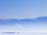 Mongolia, Ovorkhangai, Orkkhon Valley, Horses in the Winter Landscape Photographic Print by Nick Ledger