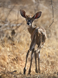 A Baby Lesser Kudu in Tsavo East National Park Photographic Print by Nigel Pavitt