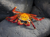 Ecuador, Galapagos, a Brightly Coloured Sally Lightfoot Crab Skips over the Dark Rocks Fotografie-Druck von Niels Van Gijn