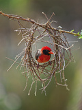 A Red-Headed Weaver Building its Nest Photographic Print by Nigel Pavitt