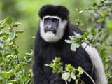 A Guereza Colobus Monkey in the Aberdare Mountains of Central Kenya Photographic Print by Nigel Pavitt