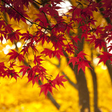 Autumn Foliage of Japanese Maple (Acer) Tree, England, Uk Photographic Print by Jon Arnold