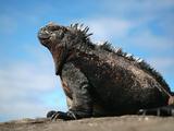 Ecuador, Galapagos, a Large Male Marine Iguana Soaks Up the Rays Fotografie-Druck von Niels Van Gijn