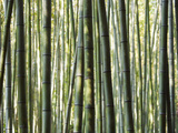 Japan, Chubu Region, Kyoto, Arashiyama, Close Up of a Bamboo Forest Photographic Print by Nick Ledger