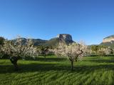 Almond Blossom, Serra De Tramuntana Auf Majorca, Balearics, Spain Photographic Print by Katja Kreder