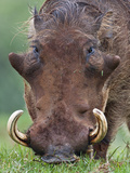 A Male Warthog Feeding on Grass in the Aberdare National Park Photographic Print by Nigel Pavitt
