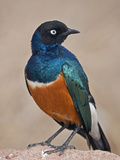 A Superb Starling in Tsavo East National Park Photographic Print by Nigel Pavitt