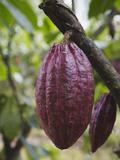 Cocoa (Cacao) Fruit on Tree, Kalitakir Plantation, Kalibaru, Java, Indonesia Fotografisk trykk av Ian Trower