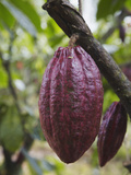 Cocoa (Cacao) Fruit on Tree, Kalitakir Plantation, Kalibaru, Java, Indonesia Photographic Print by Ian Trower