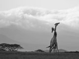 Two Reticulated Giraffes 'Necking' in the Early Morning Photographie par Nigel Pavitt