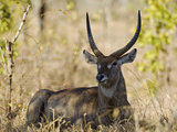 Malawi, Majete Wildlife Reserve, Male Waterbuck in the Brachystegia Woodland Photographic Print by John Warburton-lee