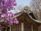 Korea, Seoul, Changdeokgung Palace, Cherry Blossom at Changgyeongggung Palace Photographic Print by Jane Sweeney