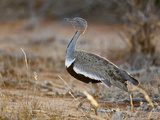A Buff-Crested Bustard in Tsavo East National Park Photographic Print by Nigel Pavitt