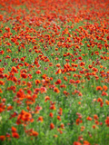 Italy, Umbria, Perugia District, Poppy Field Photographic Print by Francesco Iacobelli
