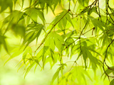 Japanese Maple (Acer) Tree in Springtime, England, UK Fotografie-Druck von Jon Arnold