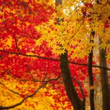 Autumn Foliage of Japanese Maple (Acer) Tree, England, Uk Fotografisk tryk af Jon Arnold