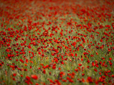 Italy, Umbria, Norcia, Poppies Growing in Barley Fields Near Norcia Photographic Print by Katie Garrod