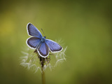 Italy, Umbria, Norcia, Purple Butterfly on a Dandelion Photographic Print by Katie Garrod
