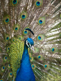England, Kent, Wingham, Peacock Displaying at Wingham Wildlife Park Photographic Print by Katie Garrod