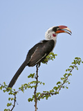 A Von Der Decken's Hornbill Reproduction photographique par Nigel Pavitt
