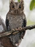 The Tiny Sokoke Scops Owl in the Arabuko-Sokoke Forest Near Malindi, Discovered in 1965, Globally E Photographic Print by Nigel Pavitt