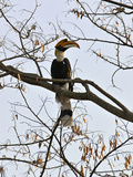 A Giant Hornbill in the Tropical Rainforests of India and Asia, One of the Largest and Most Distinc Photographie par Nigel Pavitt
