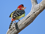 A Red-And-Yellow Barbet in Tsavo East National Park Photographic Print by Nigel Pavitt