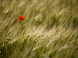 Italy, Umbria, Norcia, a Single Poppy in a Field of Barley Near Norcia Photographic Print by Katie Garrod