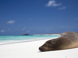 Ecuador, Galapagos, Sunbathing Sea Lion on the Stunning Beaches of San Cristobal, Galapagos Fotografie-Druck von Niels Van Gijn