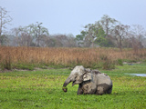 Wild Indian Elephants Feed in a Swamp in Kaziranga National Park, a UNESCO World Heritage Site Photographic Print by Nigel Pavitt