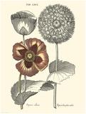 Tinted Floral II Print by Besler Basilius